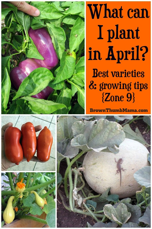 Let's get ready to gaaaaaarden! Plant these 12 vegetables in April for a tasty harvest this summer. Includes recommended varieties and growing tips. (Zone 9)