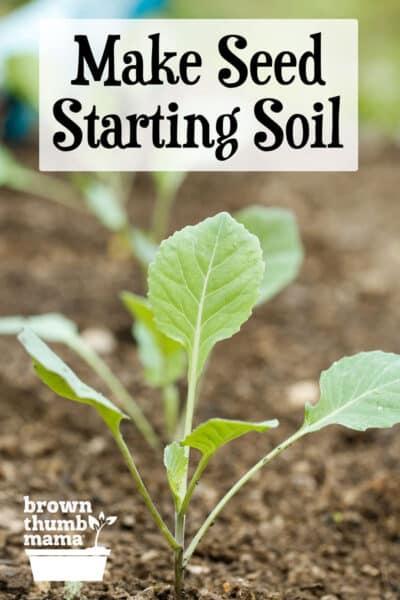 broccoli seedling in soil