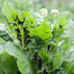 aphids on vegetables in the garden