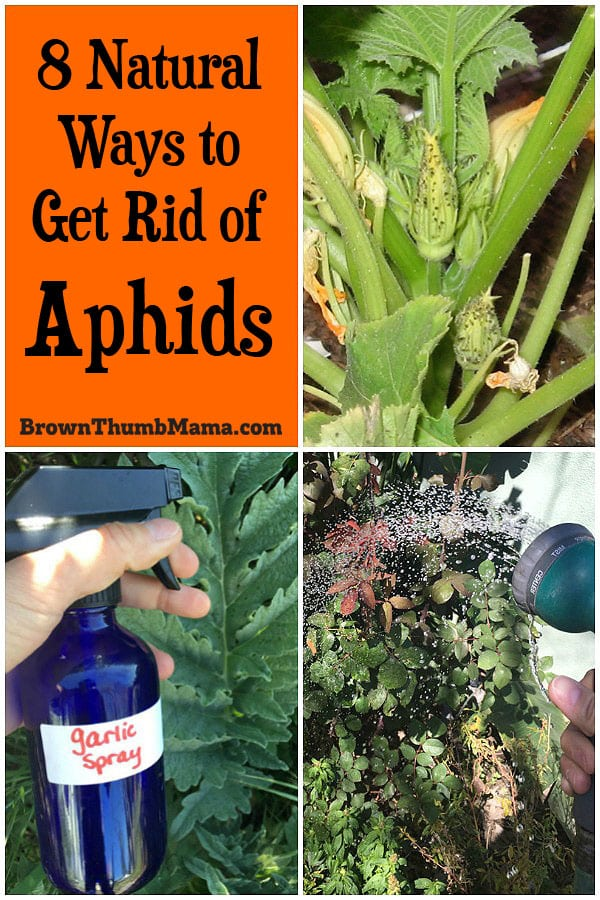 It's easy to get rid of aphids without using dangerous chemicals that might hurt your plants, pets, or kids. Here are the 8 best natural ways to get rid of aphids.