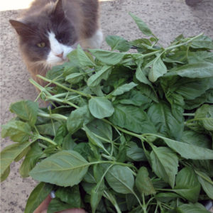 cat looking at large bowl of basil leaves