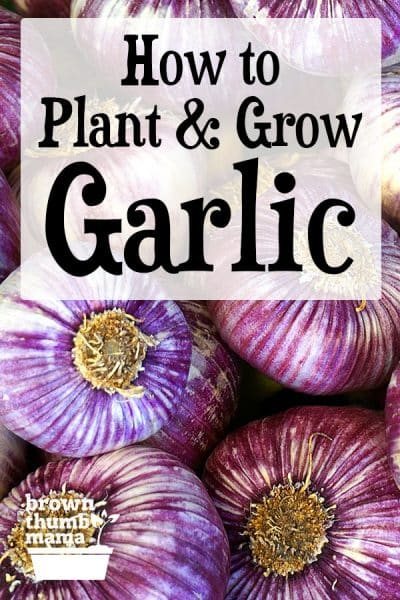 purple striped garlic