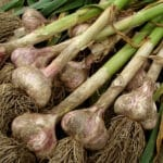large garlic plants after harvest