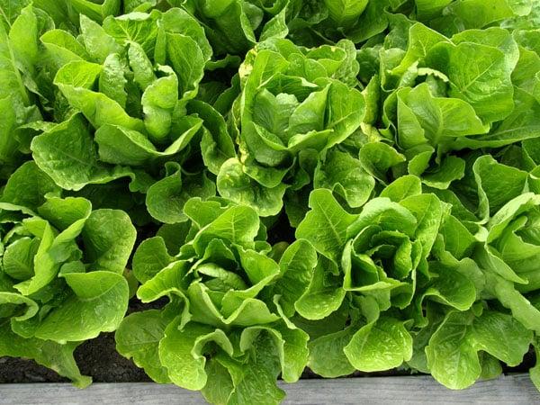 green romaine lettuce