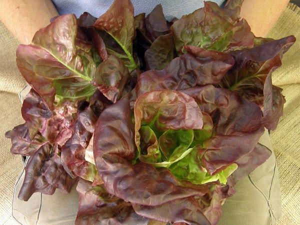 ruby gem romaine lettuce in pot