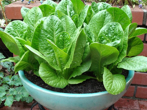 How to Plant & Grow Romaine Lettuce