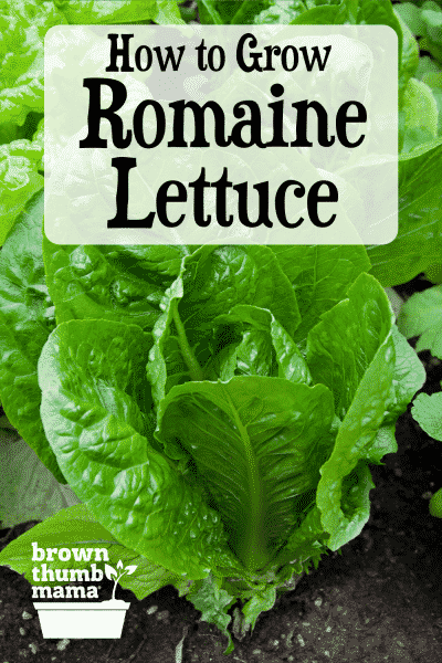 romaine lettuce growing in garden