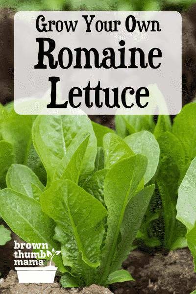 romaine lettuce seedlings