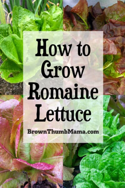 red and green romaine lettuce