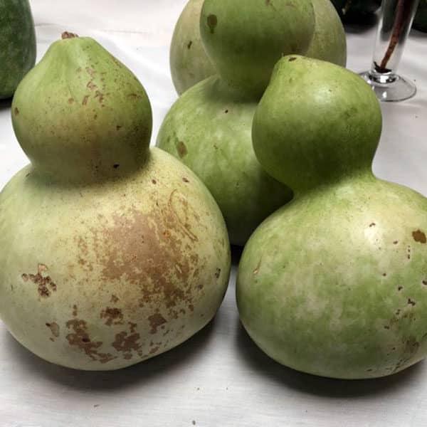 green birdhouse gourds on white tablecloth