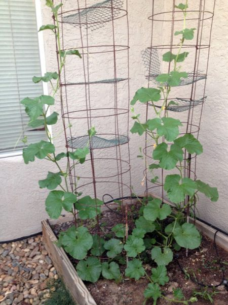 cantaloupe growing up cylindrical trellis