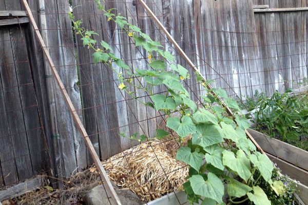 cucumbers growing up trellis