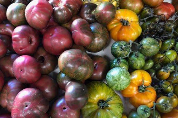 multicolored heirloom tomatoes