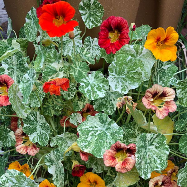 orange and red nasturtium with green and white variegated leaves