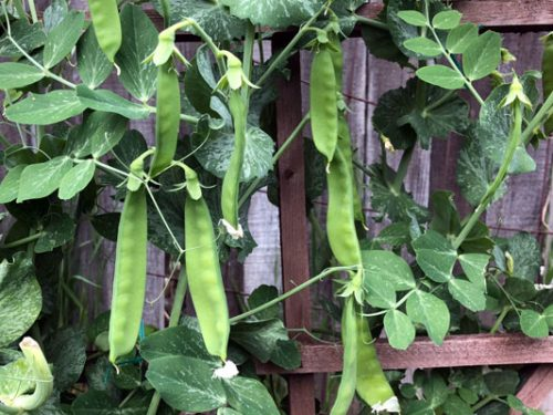 snow peas growing up trellis