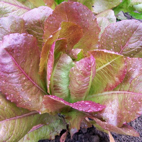 red winter romaine lettuce