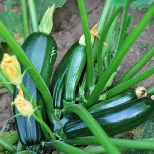 zucchini plant with 5 large zucchini on it
