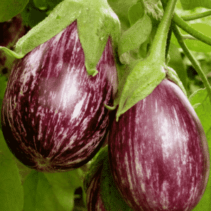 eggplant growing in garden
