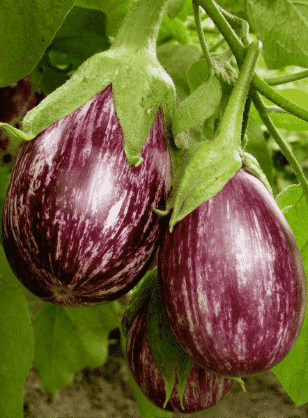 eggplant growing in garden