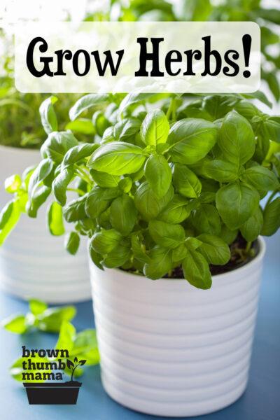 basil growing in white pot