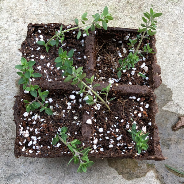 thyme cuttings in starting soil