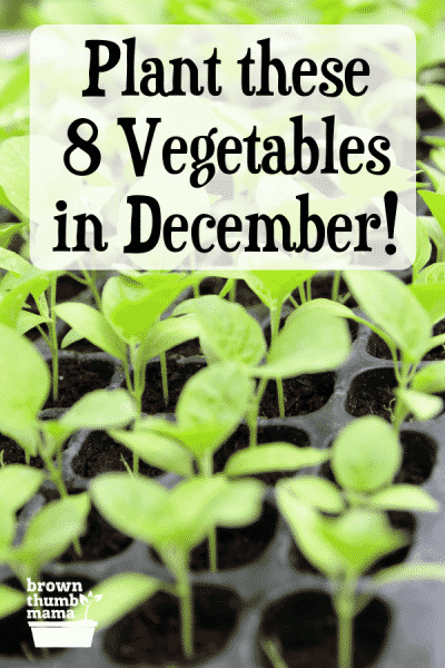 kale seedlings to plant
