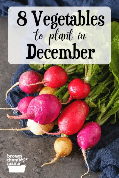 radishes on slate table