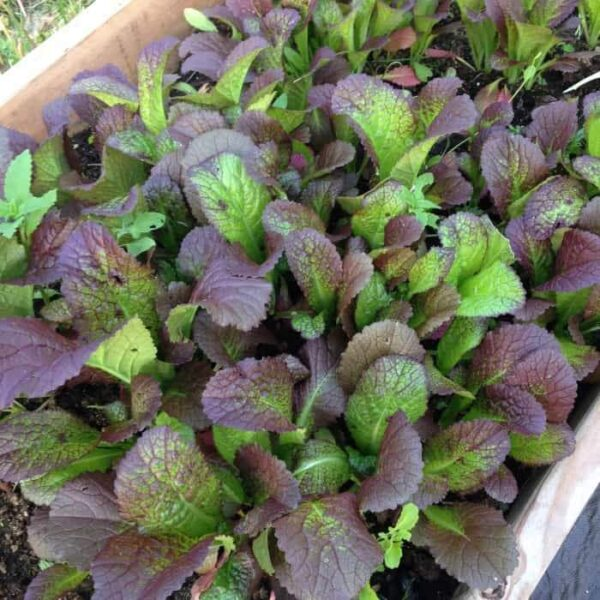 red mustard greens growing in raised bed garden