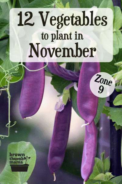 purple snap peas in garden