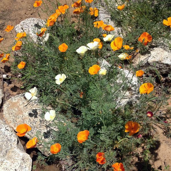 Bonus! California Poppies