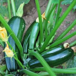 zucchini plant with five zucchini growing on it