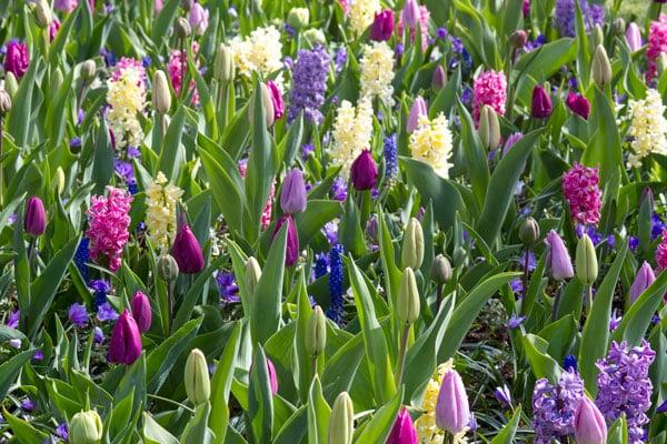 tulips, hyacinth flowers