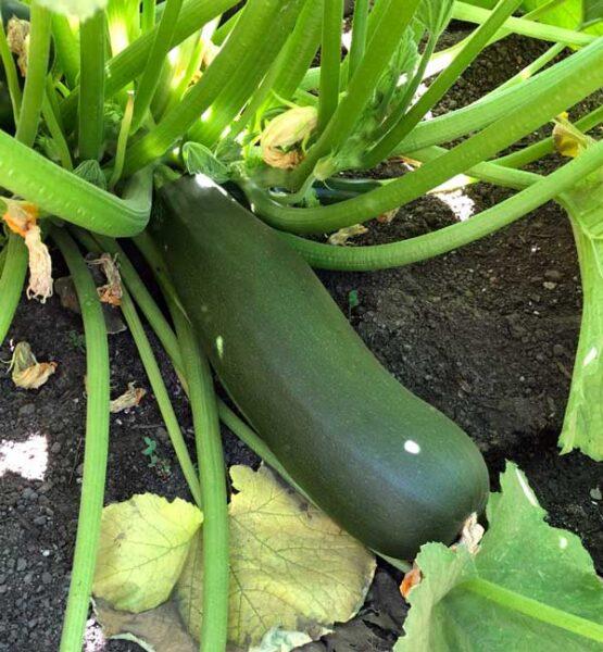 giant zucchini plant