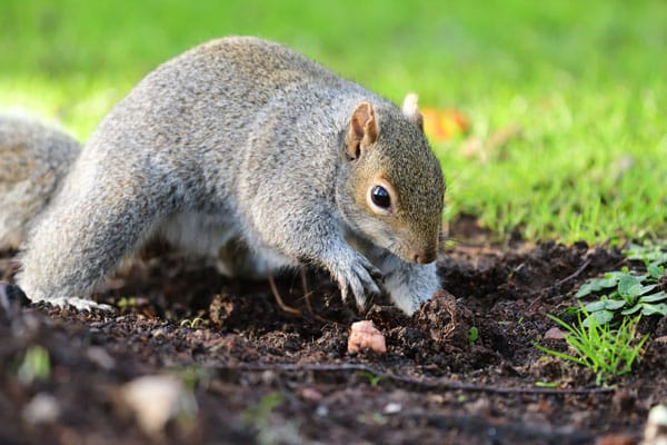 squirrel digging in garden
