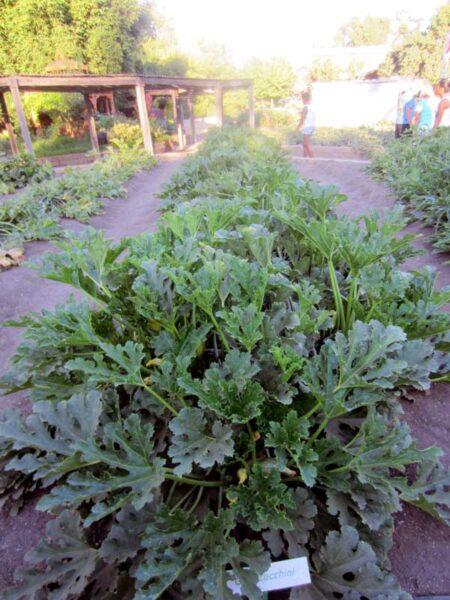 giant zucchini plants at farm
