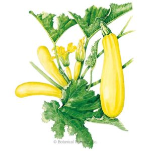 drawing of yellow zucchini squash