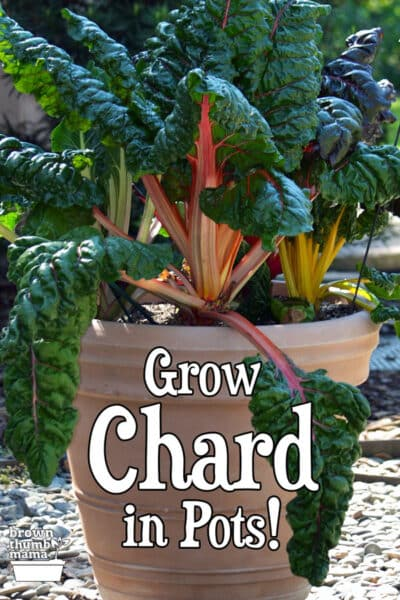 rainbow chard in large pot