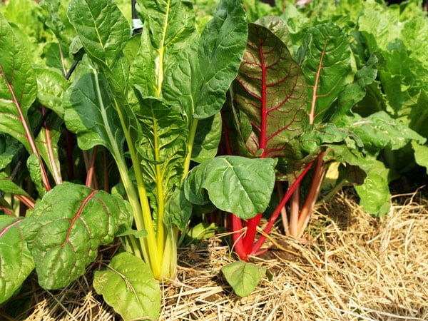 red and yellow swiss chard growing in garden with straw mulch