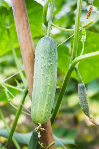 small cucumber growing on a trellis