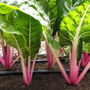 rows of peppermint stick chard growing in garden with drip lines between