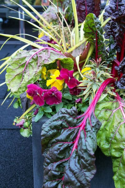 chard and beautiful flowers in pot