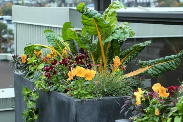 chard and beautiful flowers in container