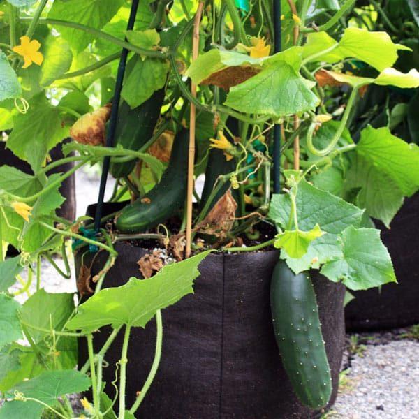 cucumbers growing in a fabric pot