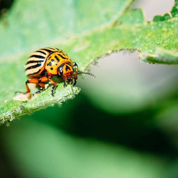 potato beetle eating leaf