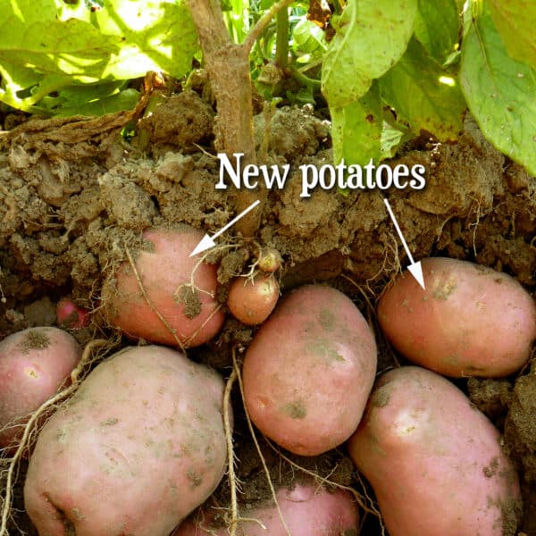 red potatoes of different sizes growing underground