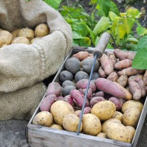 russet potatoes in a burlap sack and colorful potatoes in a wood basket