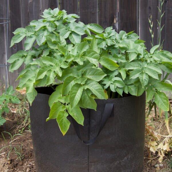 potato in fabric pot