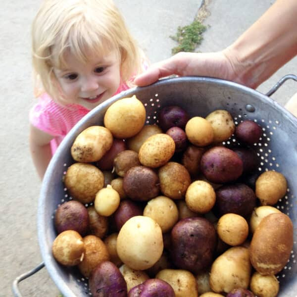 colander full of potatoes with little girl smiling