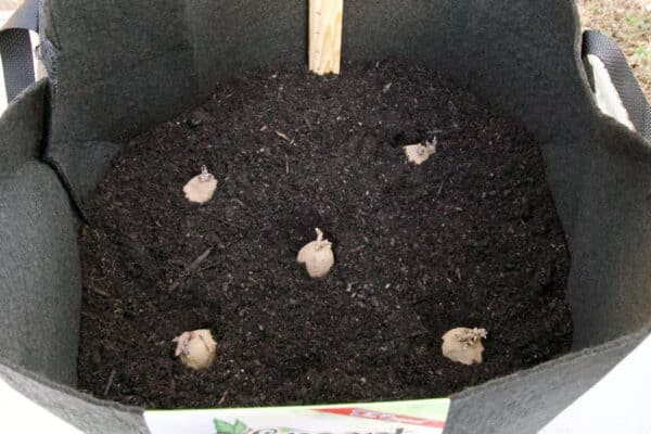 seed potatoes nestled into soil