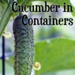 cucumber growing on vine